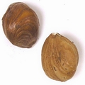 Passover Raw Oregon Hazelnuts (Filberts)
